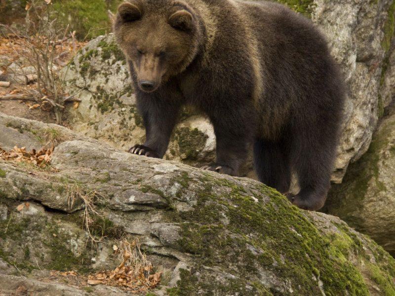 adventoura bear svk (127)_male