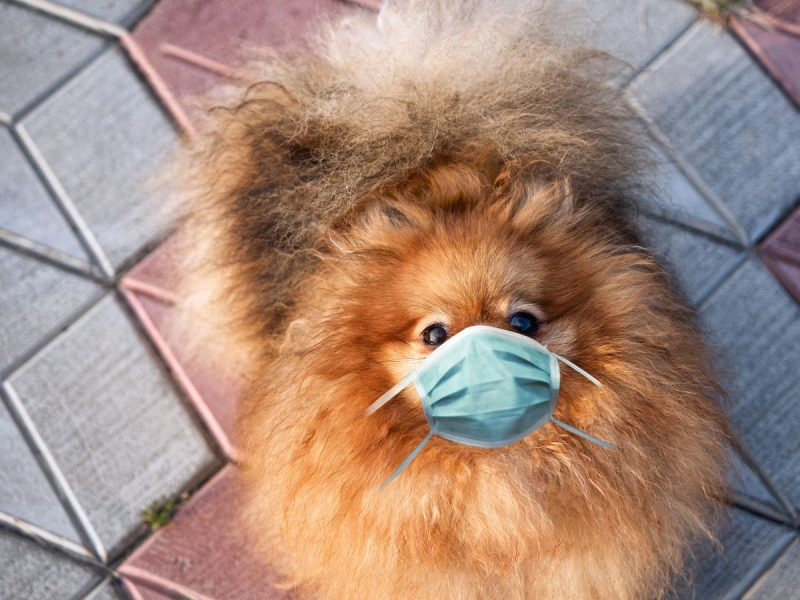0_Pretty-red-Pomeranian-spitz-dog-with-a-face-mask-on