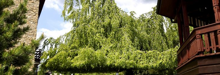 buk stary smokovec strom roka 2021