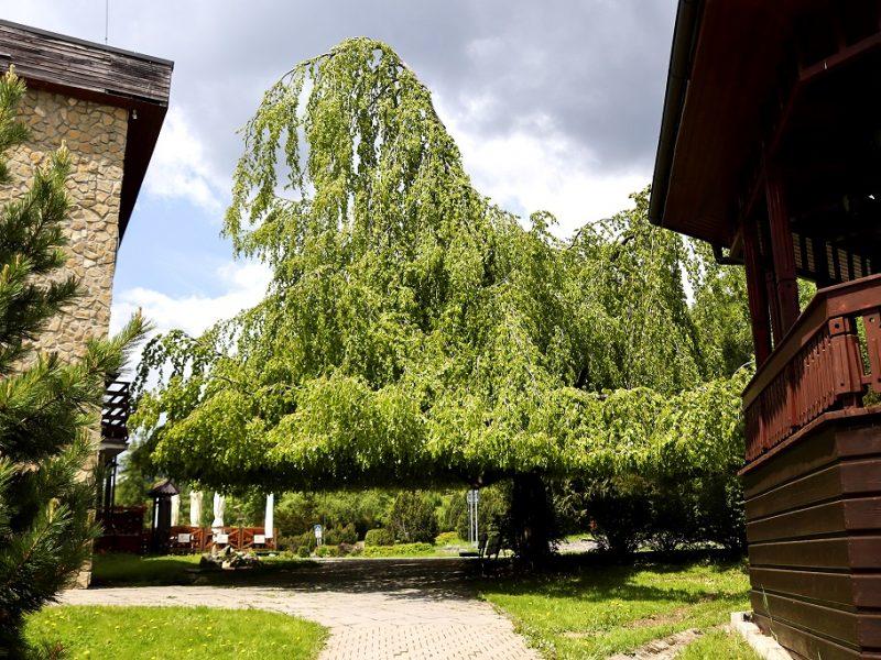 buk-smokovec-strom-roka 1
