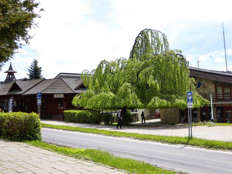 buk-smokovec-strom-roka 3